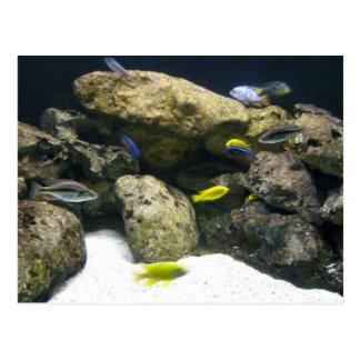 African Cichlid aquarium postcard