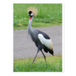 African Crested Crane Postcard