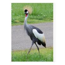 African Crested Crane Postcard