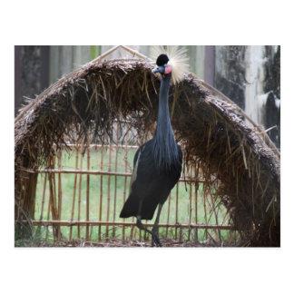 african crown crane postcard