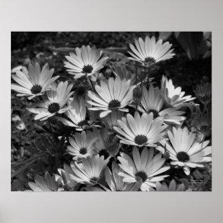 African Daisies Flower Black White Print