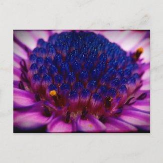 African Daisy Blossom Postcard postcard