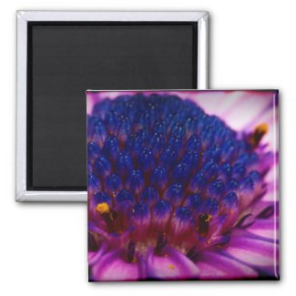 African Daisy Blossom Square Magnet magnet