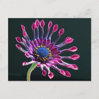 African Daisy Flower Postcard postcard