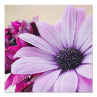African Daisy Flower Poster