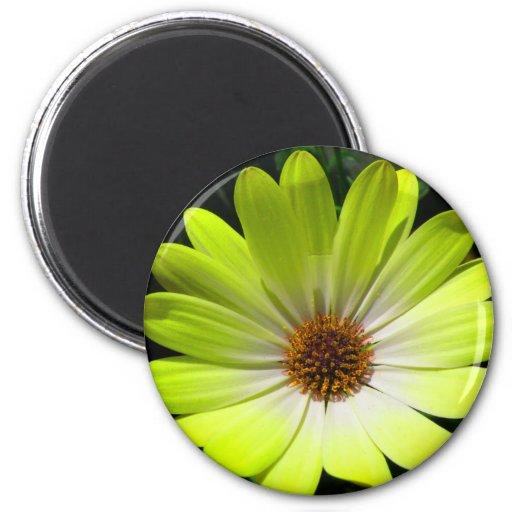 African Daisy Fluorescent Yellow Magnet