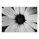 African Daisy in Black and White Greeting Cards