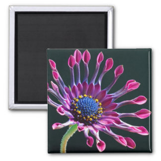 African Daisy Magnet