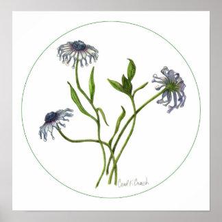 African Daisy (Osteospermum) Poster