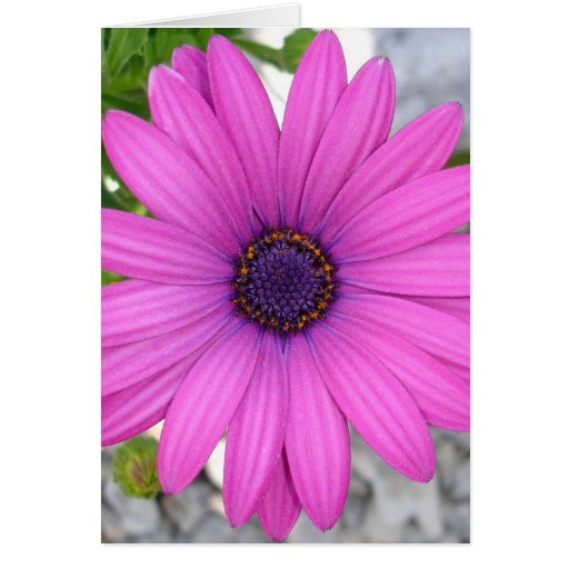 African Daisy (Square) Greeting Card
