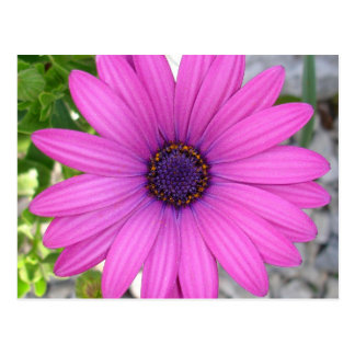 African Daisy (Square) Post Cards