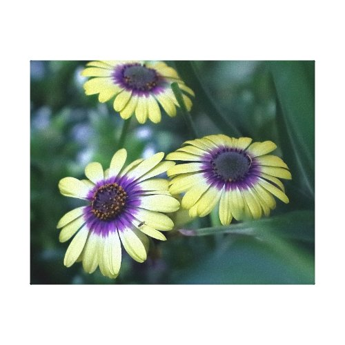 African Daisy, Wrapped Cavans Print. Canvas Print