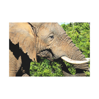 African Elephant eating Canvas Prints
