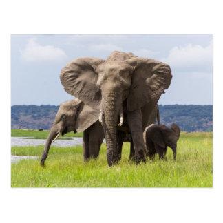 African Elephant Family, Botswana, Postcard