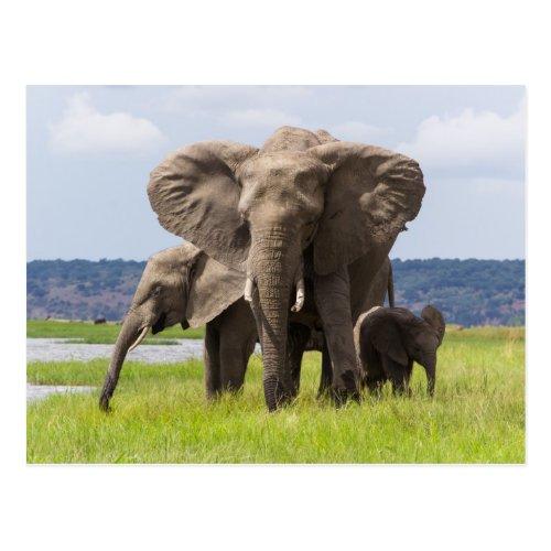 African Elephant Family Botswana Postcard