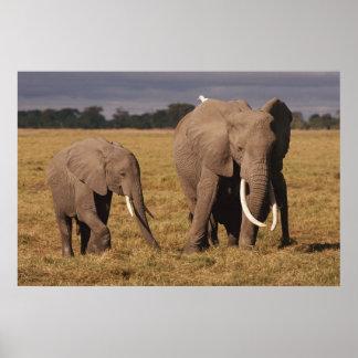 African Elephant family (Loxodonta Africana) Poster