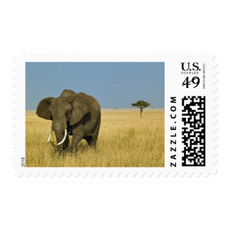 African Elephant grazing in tall summer grass, Postage