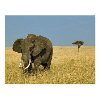 African Elephant grazing in tall summer grass, Postcard