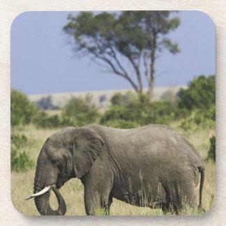 African Elephant grazing, Loxodonta africana, Coaster