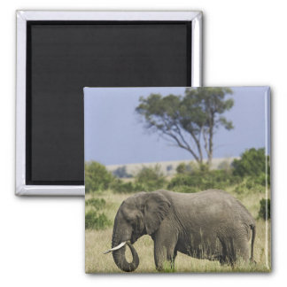 African Elephant grazing, Loxodonta africana, Magnet