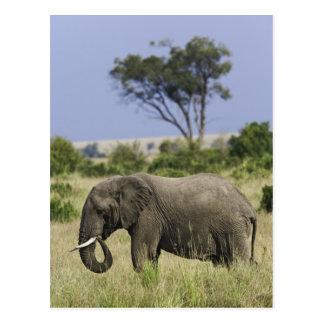 African Elephant grazing, Loxodonta africana, Postcard