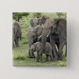 African Elephant herd, Loxodonta africana, 2 Button