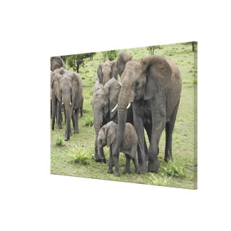 African Elephant herd, Loxodonta africana, 2 Stretched Canvas Print