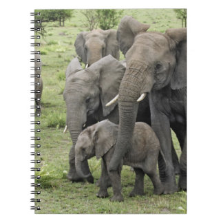 African Elephant herd, Loxodonta africana, 2 Spiral Notebooks