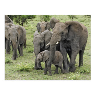 African Elephant herd, Loxodonta africana, 2 Postcard