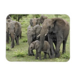African Elephant herd, Loxodonta africana, 2 Rectangular Photo Magnet
