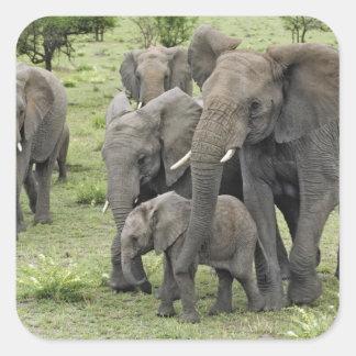 African Elephant herd, Loxodonta africana, 2 Square Sticker