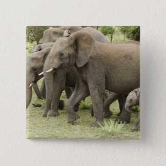 African Elephant herd, Loxodonta africana, 3 Button