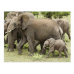 African Elephant herd, Loxodonta africana, 3 Postcard