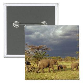 African Elephant herd, Loxodonta africana, Pin