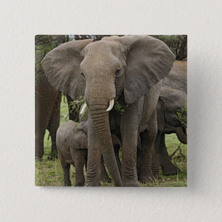African Elephant herd, Loxodonta africana, Button