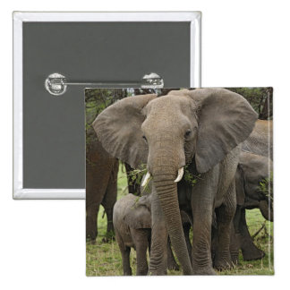 African Elephant herd, Loxodonta africana, Pinback Buttons