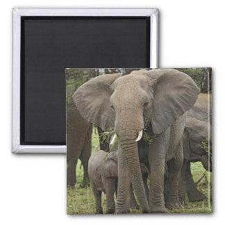 African Elephant herd, Loxodonta africana, Magnet