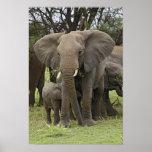 African Elephant herd, Loxodonta africana, Poster