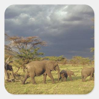 African Elephant herd, Loxodonta africana, Square Sticker