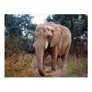 African elephant in the bush postcard