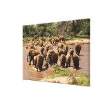 African Elephant, Loxodonta africana, crossing Canvas Print