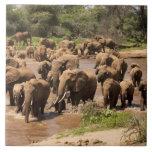 African Elephant, Loxodonta africana, crossing Ceramic Tile