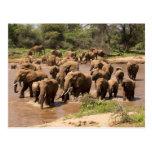 African Elephant, Loxodonta africana, crossing Postcard