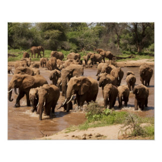 African Elephant, Loxodonta africana, crossing Poster