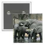 African Elephant, (Loxodonta africana), drinking 2 Inch Square Button