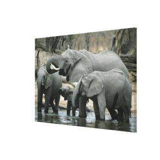 African Elephant, (Loxodonta africana), drinking Canvas Print