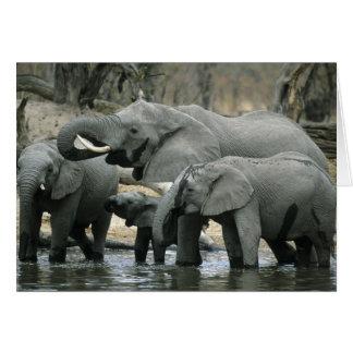 African Elephant Loxodonta africana drinking Cards