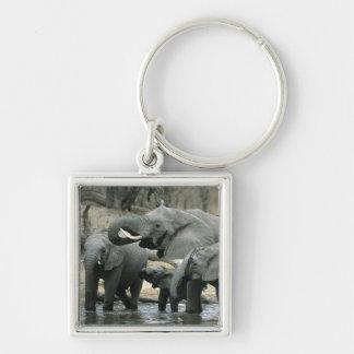 African Elephant, (Loxodonta africana), drinking Keychain