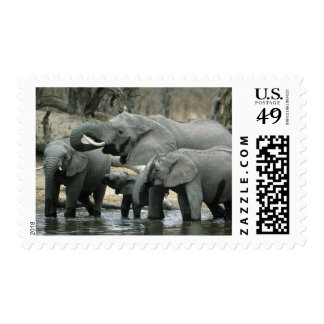 African Elephant, (Loxodonta africana), drinking Postage Stamp