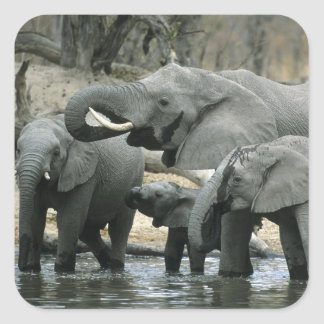African Elephant, (Loxodonta africana), drinking Square Sticker